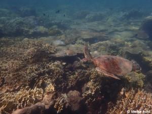 Karettschildkröte Whitsunday Islands