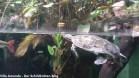 Terekay-Schienenschildkröte Podocnemis unifilis