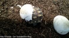 Schlupf Griechische Landschildkröte