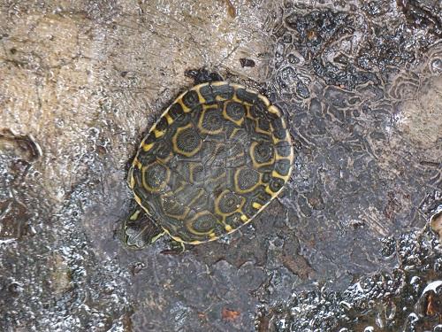 Schildkröte in Nicaragua