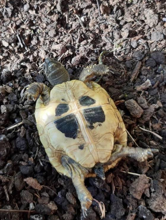 Griechische Landschildkröte auf dem Rücken