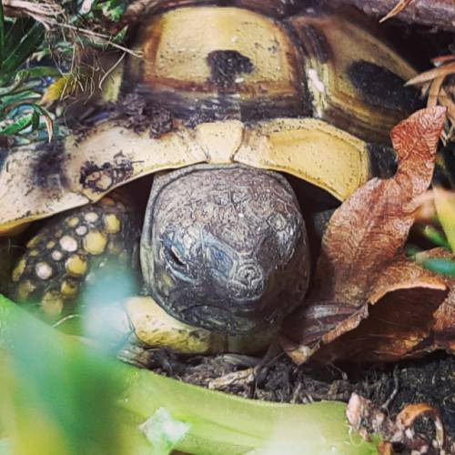 Griechische Landschildkröte Close-Up