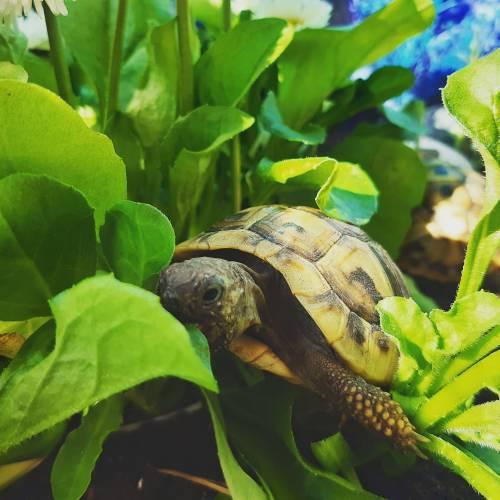 Griechische Landschildkröte frisst Gänseblümchen