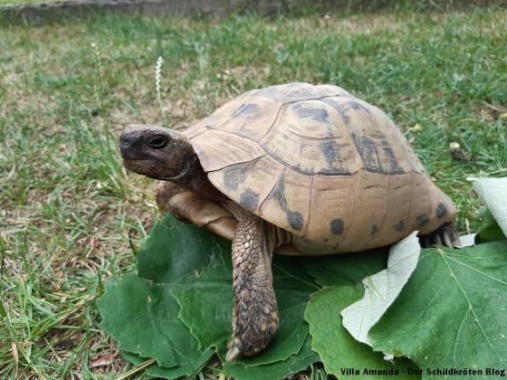 Griechische Landschildkröte Weinblätter
