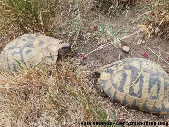 Zwei weibliche Griechische Landschildkröten