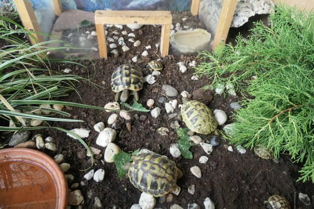 Griechische Landschildkröten Schlüpflinge 2021
