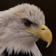 Glory, male Bald Eagle at Schlitz Audubon