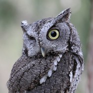 Baron von Screech, Eastern Screech Owl at Schlitz Audubon