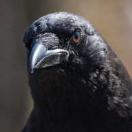 Loki, American Crow at Schlitz Audubon