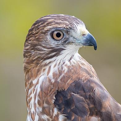 nicco-broad-winged-hawk-schlitz-audubon