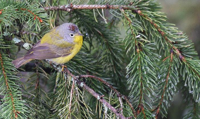 Spring Migration Nashville Warbler