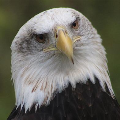 Valkyrie, female Bald Eagle at Schlitz Audubon