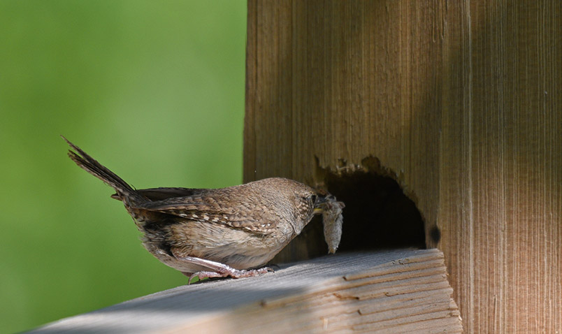 A House Wren at Schlitz Audubon, taking food into its nest to feed its young.