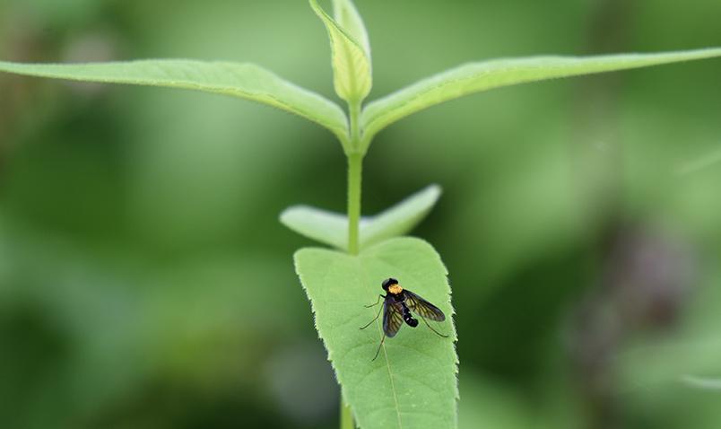 Golden-backed Snipe Fly SChlitz Audubon