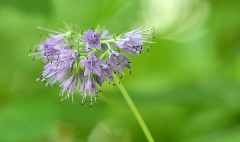 Walk in the Woods Virginia Waterleaf light purple Schlitz Audubon