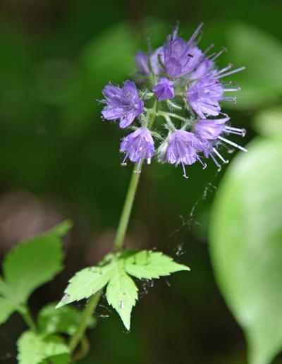 Walk in the Woods Virginia Waterleaf Purple Schlitz Audubon