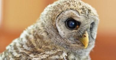Perseus Barred Owl Schlitz Audubon
