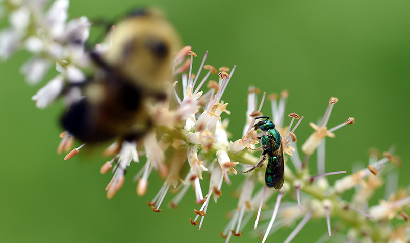 A green sweat bee (agapostemon) on Culver's Root with a bumble bee.