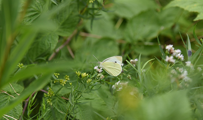 Cabbage White, Pieris rapae. This is a non-native species that is widespread.