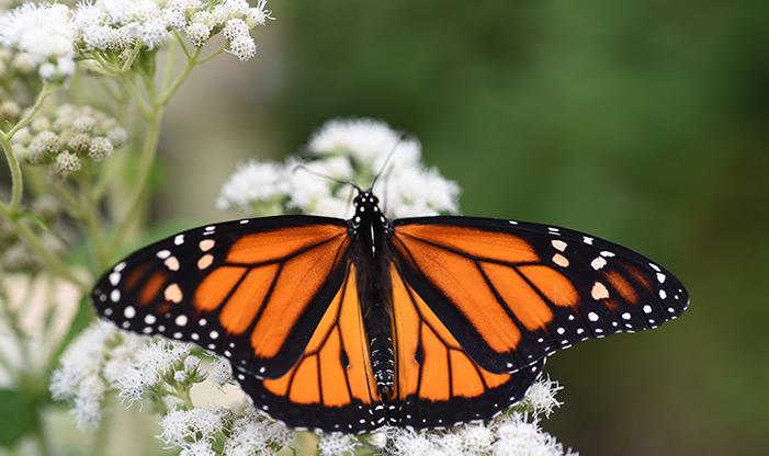 A Male Monarch, Danaus plexippus, resting on Mountain Mint.