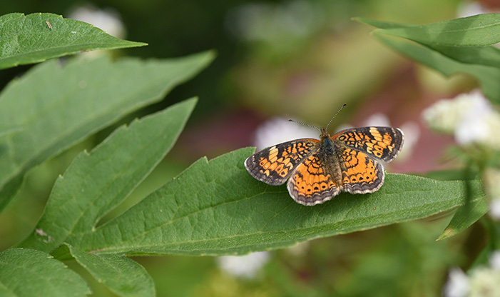 Pearl Crescent, Phyciodes tharos. This butterfly is TINY with a wingspan of about 3/4inch.