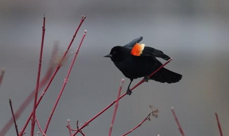 The Resounding Behaviors Of The Red-winged Blackbird | Schlitz Audubon