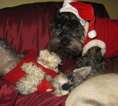 Schnauzers Lilly Belle And Ace