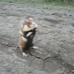 Aggresiver Hamster