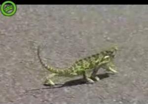 gangstergecko