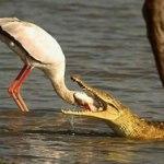 Krokodil frisst Schwan
