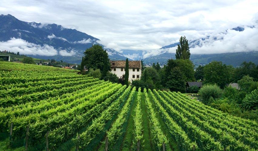 Weinreben Südtirol