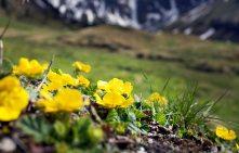 Gelbe Blumen Nassfeld Gasteinertal