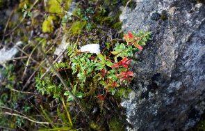 Pflanzen Altaussee