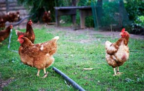 Buschenschank Oberlegar Hühner
