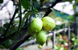 Bio-Limonen im Zitrusgarten – Faak am See