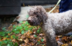 Camou – Trüffelhund von Dr.Sauseng / Graz