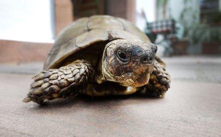 Schildkröte Max