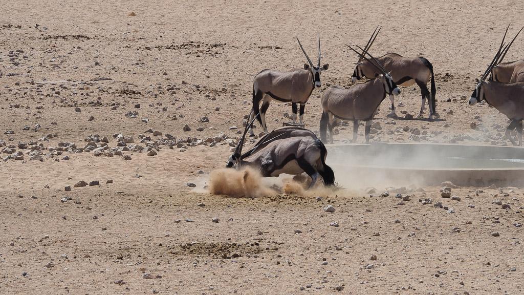 Oryx Antilopen beim Kampf am Wasserloch