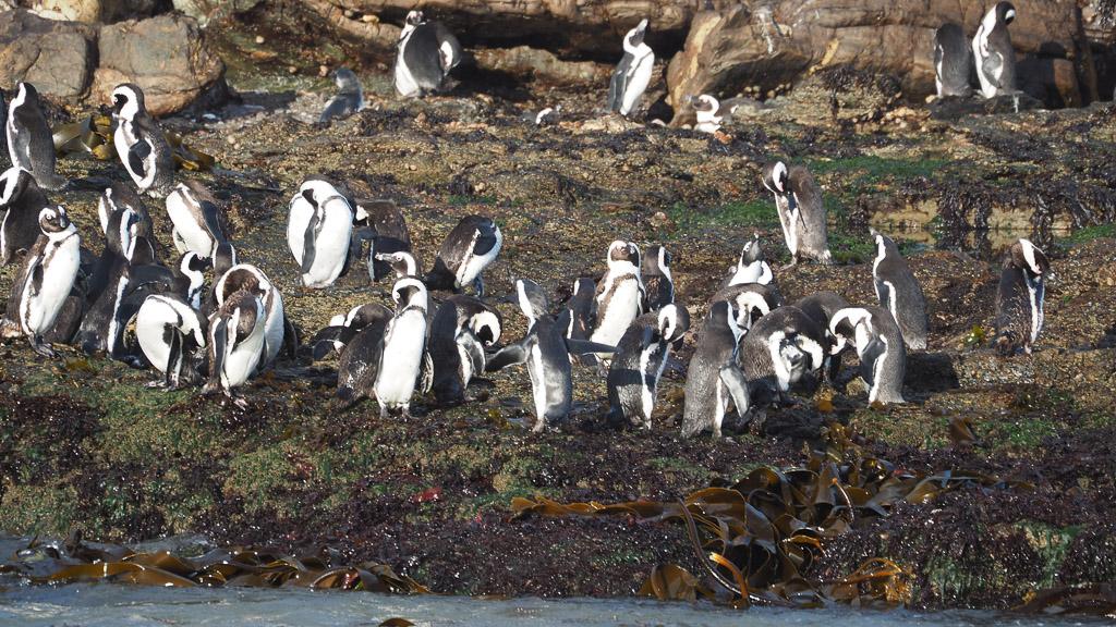 Pinguine auf Halifax - Namibia