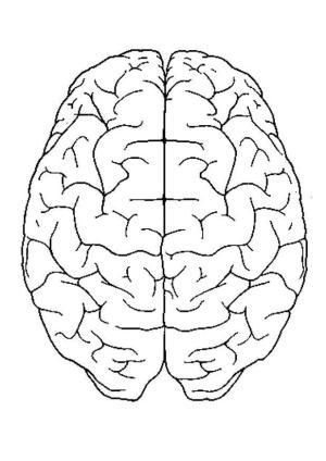 Kleurplaat hersenen boven  Afb 4300