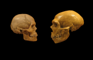 Comparison of Homo sapiens (L) and Homo neanderthalensis (R) skulls. By hairymuseummatt (original photo), DrMikeBaxter (derivative work) [CC-BY-SA-2.0 (http://creativecommons.org/licenses/by-sa/2.0)], via Wikimedia Commons