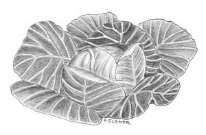 Kohlkopf, Zeichnung: Petra Elsner