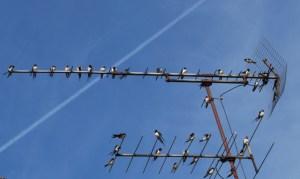 Schwalben auf unserem Dach. Foto: pe