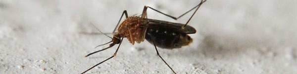 mosquito1_600x150