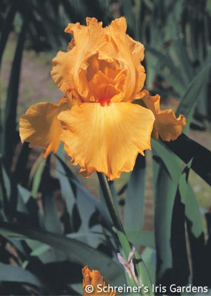 China Moon Tall Bearded Iris