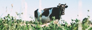 Cow in farm field to represent agriculture sustainability