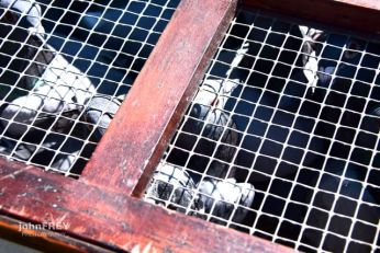 Homing pigeons from the The Mount Pleasant Pigeon Club in their cages waiting to be released.