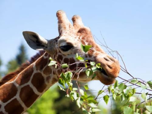 Warum Zhlen Giraffen Bis Zehn