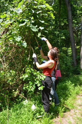 WE THE WEEDS and volunteers harvest invasive vines