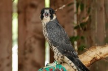 47_Our wildlife clinic treats many endangered species, including peregrine falcons